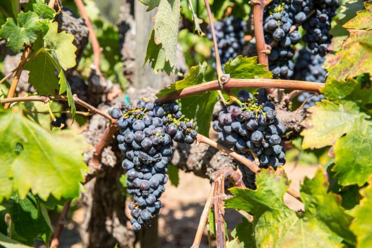 St Helena Vineyard. Wine Country.
